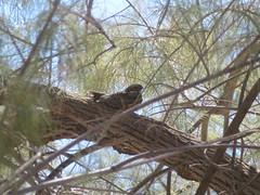 Lesser Nighthawk, Havasu NWR, AZ 9/21/2018