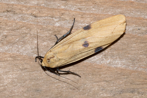 Four-spotted Footman-4