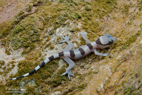 Hemidactylus fasciatus_MG_2799 copy