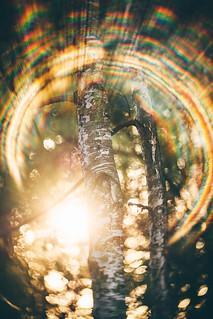 #303 - Birch trees / Břízky