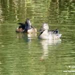 Aves en las lagunas de La Guardia (Toledo) 30-9-2018