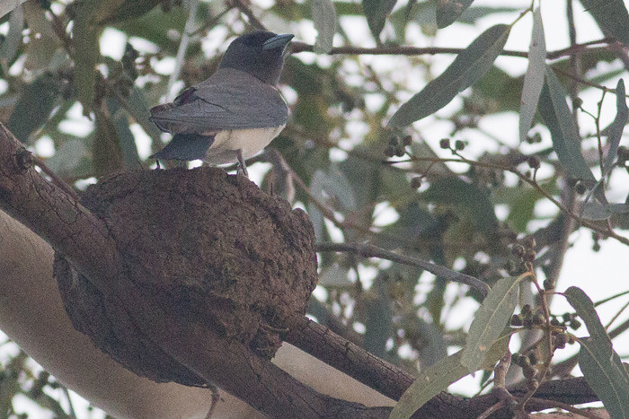 White-breasted Woodswallow on nest