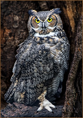 Great Horned Owl by Bob Briggs  Award Color Prints & Color POM Oct. 2018