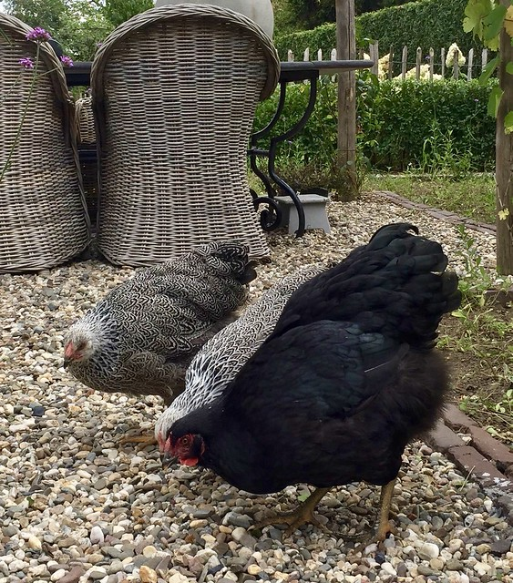 Rieten tuinstoelen zwarte kip zwart-witte kippen
