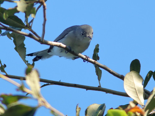 Blue-gray Gnatcatcher 2-20191001