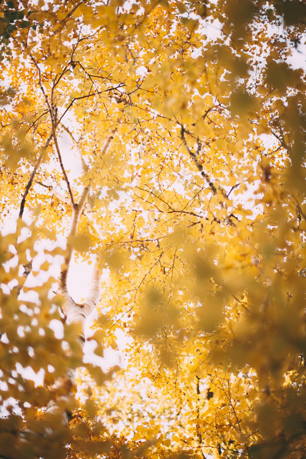 birch trees-42