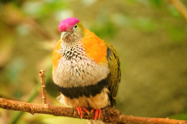 superb fruit dove male