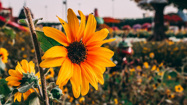 Yelow  Flower