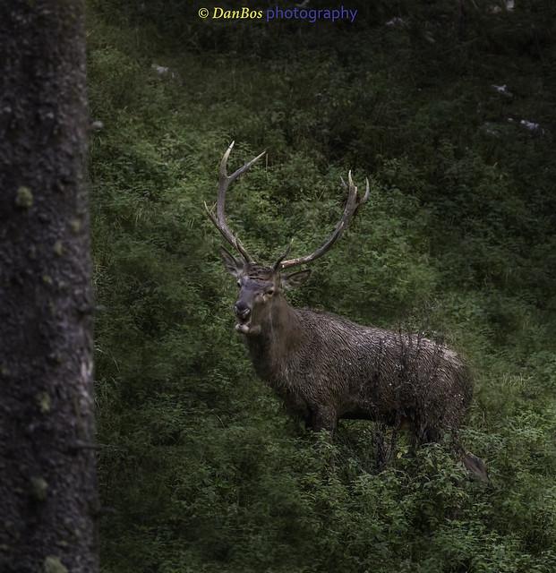 Deer's Rut