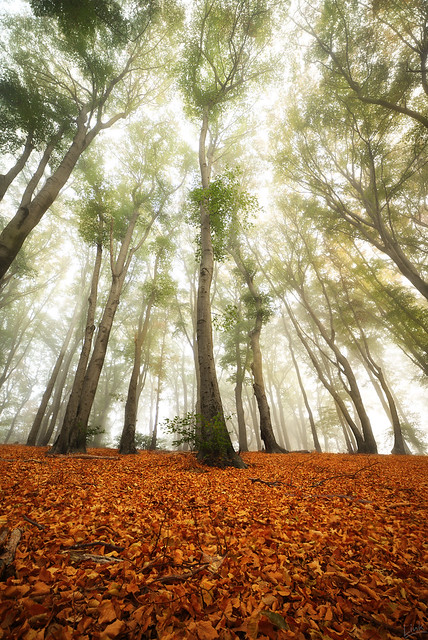 Morning in the Foggy Woods