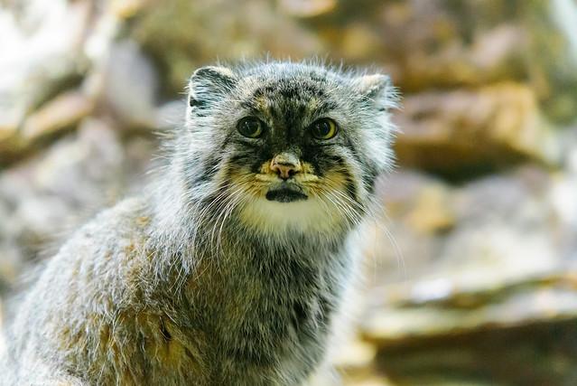 Pallas's Cat (Otocolobus manul) of Ueno Zoo, Tokyo : マヌルネコ(上野動物園)