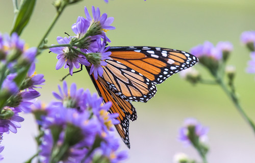 Monarchs on Asters -- like a bloom