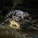 Louisiana Swamp Alligator