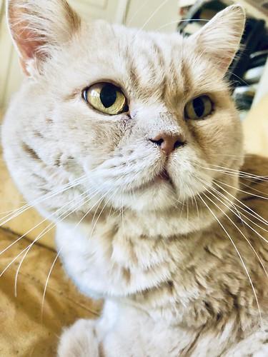 pelle svensson, cream british shorthair, 13 years old, september 2018 💛
