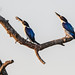 Forest Kingfishers by Louise Denton