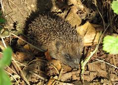 Hedgehog - Erinaceus europaeus