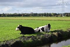Koeien Termietergouw