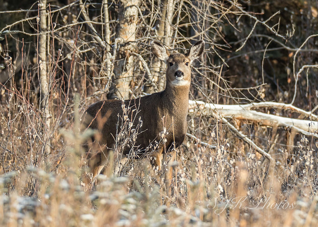 Whitetail Deer Explore 9/11/18, Canon EOS 6D MARK II, Sigma 150-600mm f/5-6.3 DG OS HSM | S