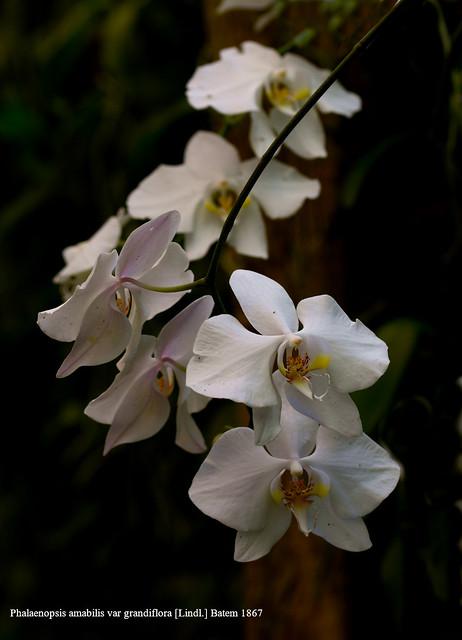 Phalaenopsis amabilis var grandiflora [Lindl.] Batem 1867
