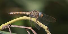 Epaulet Skimmer - Female      (Orthetrum chrysostigma)