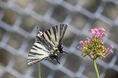 Southern Swallowtail (Sydeuropæisk Svalehale), Guillaumes - Photo of Villeneuve-d'Entraunes
