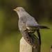 Cuckoo by bett_atherton