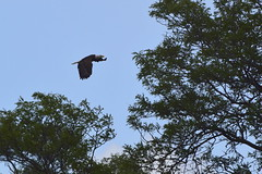 Eagle Over The River
