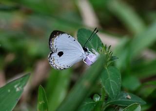 Pithecops corvus corvus (Lycaenidae) on Justicia procumbens (Acanthaceae)