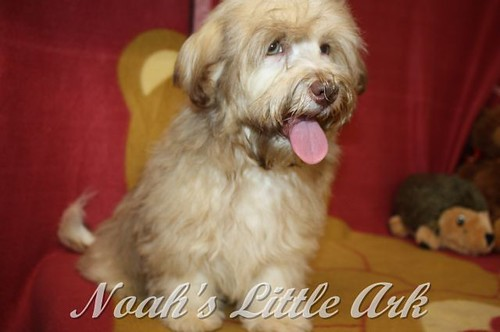 Sold Puppies in Kentucky | Noah's Little Ark