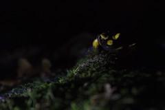 Salamandre tachetée (Salamandra salamandra) - Photo of Ternay