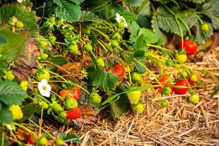 Erdbeeren im Oktober, IMG_1011_b-1