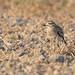 Oedicnème criard - Burhinus oedicnemus (Oiseau d'Ariège - Montaut d'Ariège) 29 septembre 2018