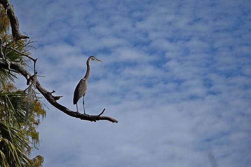 circlebbarreserve bird feathers ncmountainman florida nikon d3400 phixe lowresolutionversion tree sky clouds beak heron ngs nationalgeographicsociety