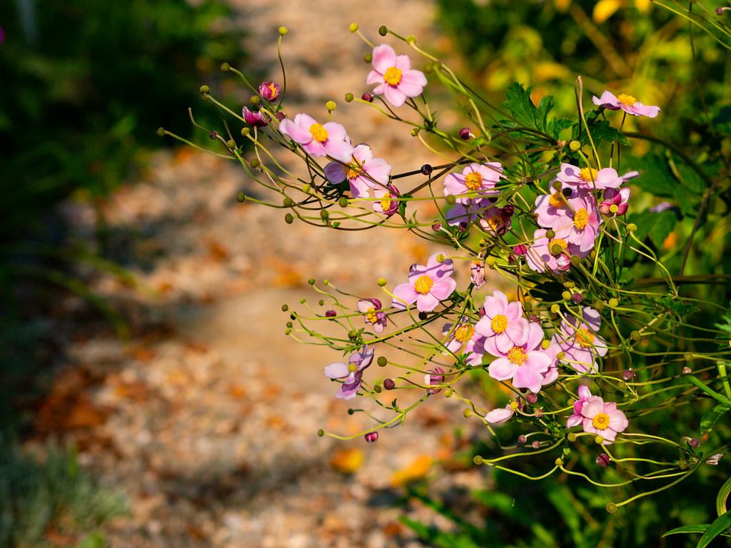 Anemone along the garden path
