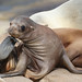 California Sea Lion - La Jolla, California