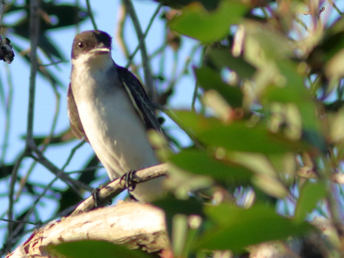 Eastern Kingbird 03-20180924