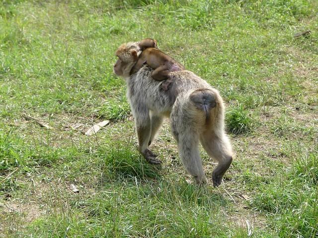 Berberaffe, Zoo Givskud