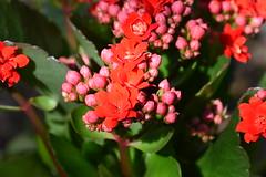 floraison tardive