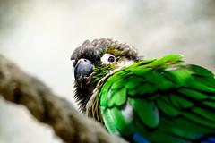 Close up Parrot