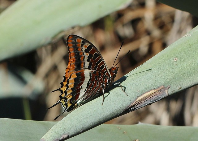 Charaxes jasius Two-tailed Pasha, Canon EOS 700D, Canon EF100mm f/2.8L Macro IS USM