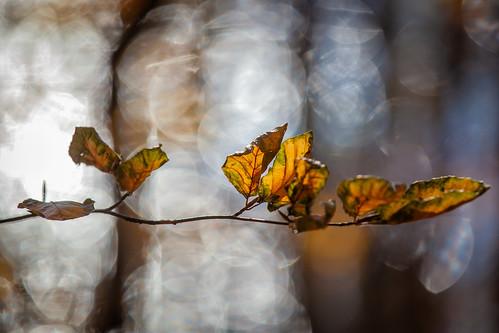 Autumn beech bokeh