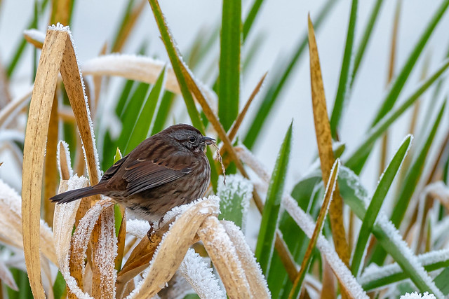Song Sparrow-cool morning
