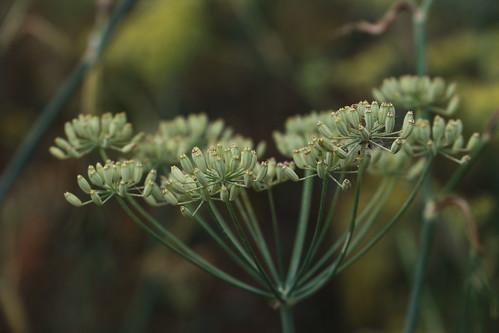 Foeniculum vulgare, Fenchel, unreife Samen