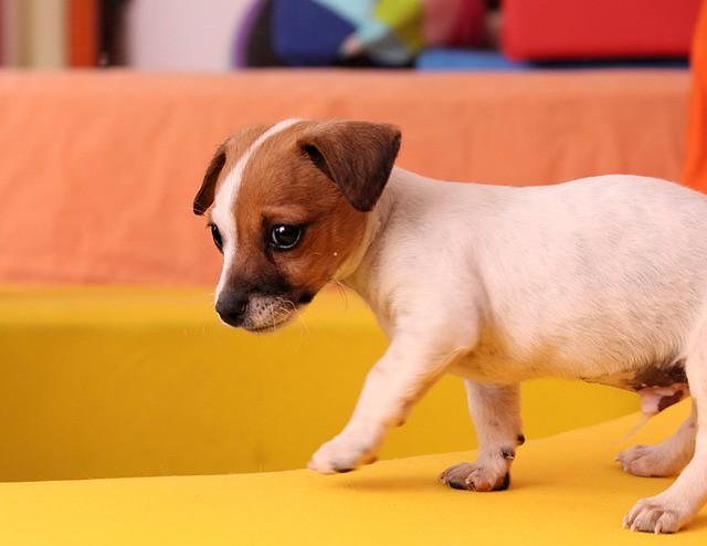 初日から自宅を探検する子犬
