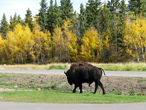 Wood bison - Elk Island National Park