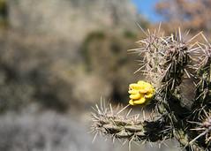 Cane cholla flower - HBW!