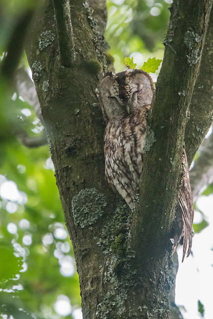 Tawny Owls:  What we thought we knew in 1678