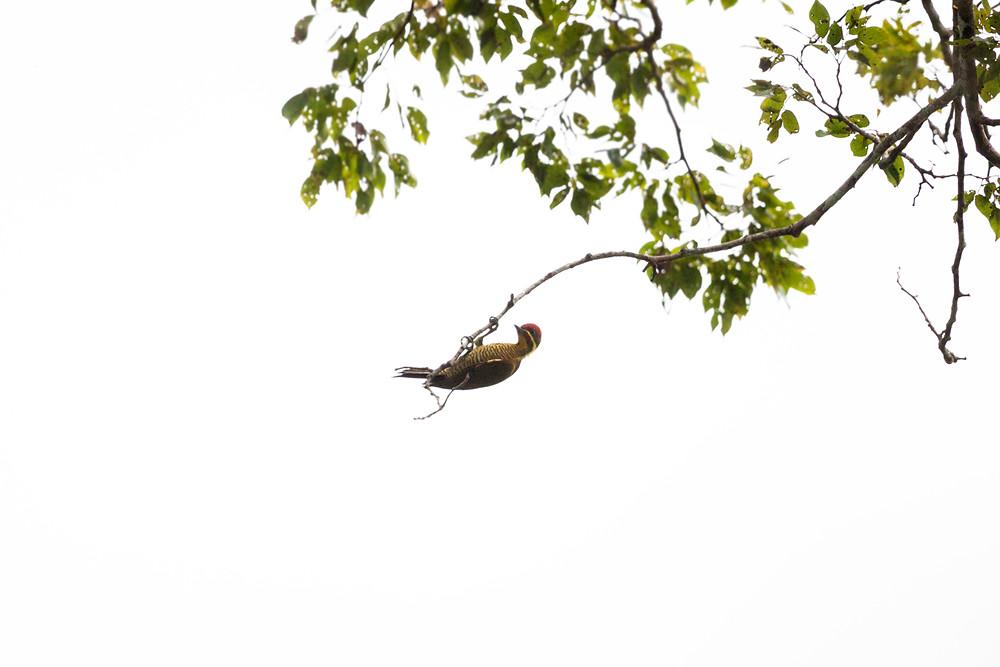 Бронзовый дятел (Piculus chrysochloros)