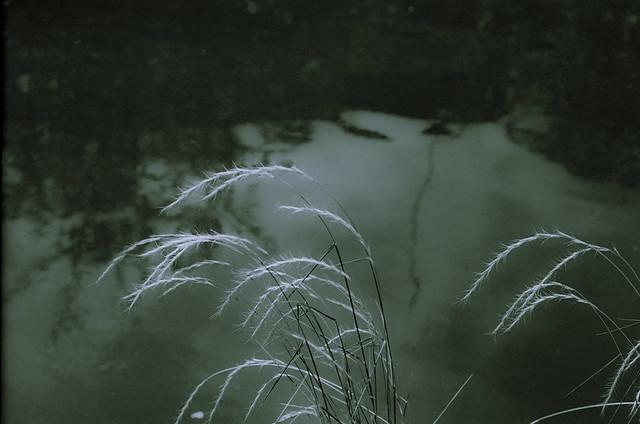 eared grass