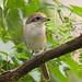 Brown Shrike (Lanius cristatus) 红尾伯劳